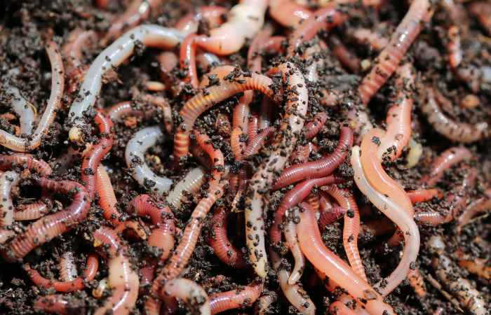 compost worms vs earthworms