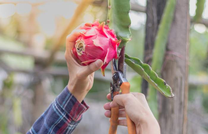 cutting dragon fruit on vine