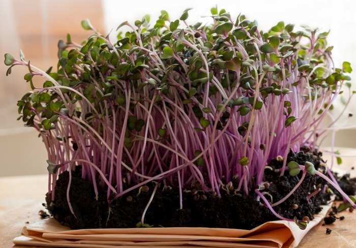 organic potting soil red cabbage seedling