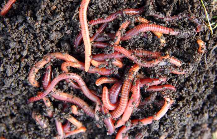 Red Worms (Eisenia Fetida) In Compost