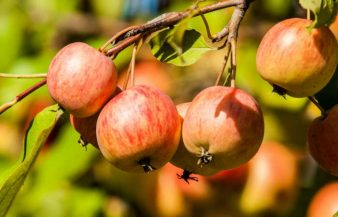 Can You Eat Crab Apples – Poisonous To Dogs?